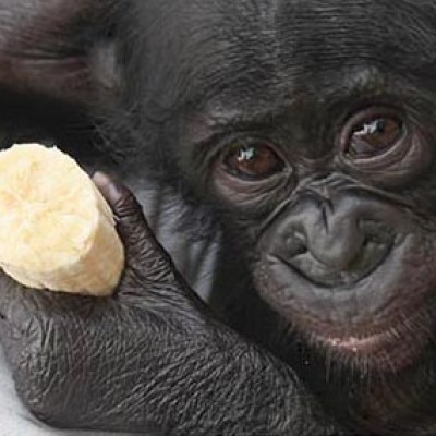 Group logo of Lola ya Bonobo